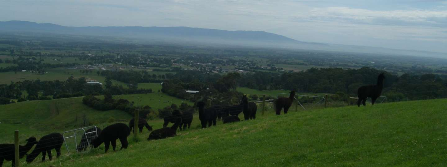 Clifden Alpacas and Clifden Belted Galloways image